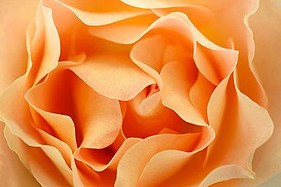 Rose Flower - p307m1012026f by Tetsuya Tanooka