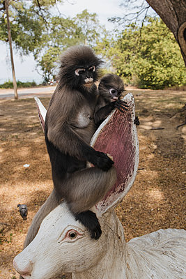 Thailand, Spectacled leaf monkeys in the bay near Ao Manao - p728m2230483 by Peter Nitsch