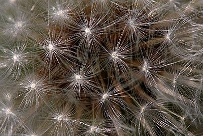 Dandelion  seedhead, Vriezenveen, Overijssel, Netherlands - p884m1143134 by Karin Rothman/ NiS