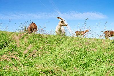 Goats - p1203m1025886 by Bernd Schumacher
