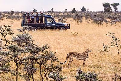 Photographers in trucks shoot cheetah (Acinonyx jubatus) amongst trees, Maasai Mara National Reserve; Kenya - p442m2039292 by Nick Dale