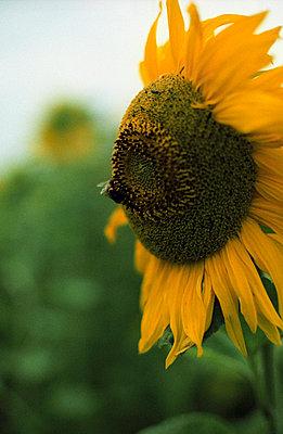 Feld mit Sonnenblumen - p4470061 von Anja Lubitz
