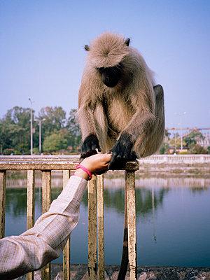 Monkey, Kolkata - p1177m970401 by Philip Frowein