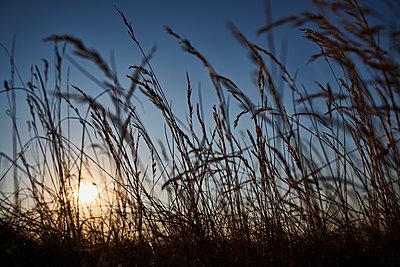 Gräser im Sonnenuntergang - p227m2008260 von Uwe Nölke