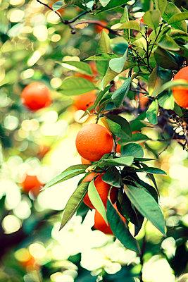 Orange tree - p432m887199 by mia takahara