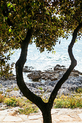 Tree on the adriatic coast - p728m2027211 by Peter Nitsch