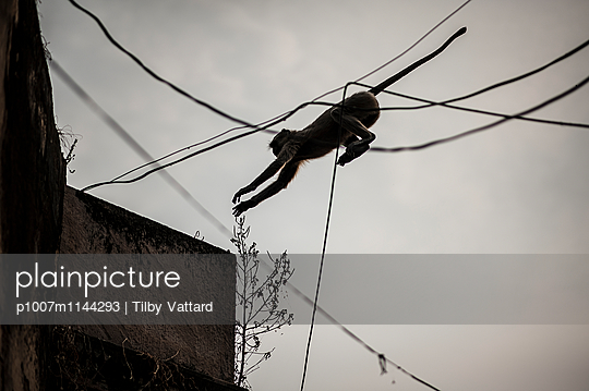 Monkey jumping through electric wires - p1007m1144293 by Tilby Vattard