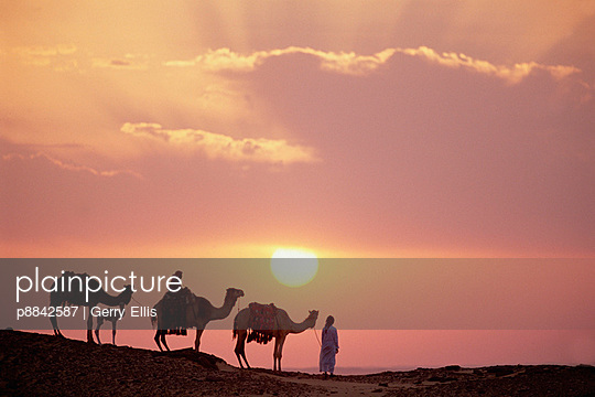 Dromedary trio - p8842587 by Gerry Ellis photography