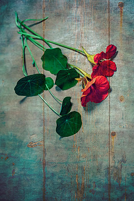 Nasturtium flowers and foliage overlaid on old blue wooden door with rust streaks and cracked paint - p1047m2204347 by Sally Mundy
