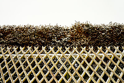 Rustic fence with hedge in winter - p1312m2191374 by Axel Killian