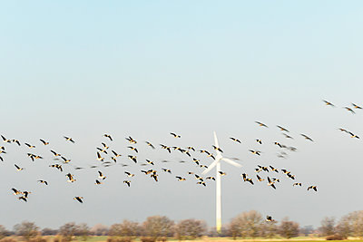 Wild geese in flight against wind turbine - p739m1119410 by Baertels