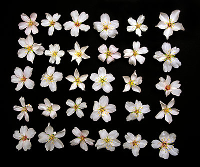 Almond blossoms - p8850159 by Oliver Brenneisen