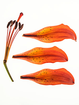Broken lily flower - p971m1462957 by Reilika Landen