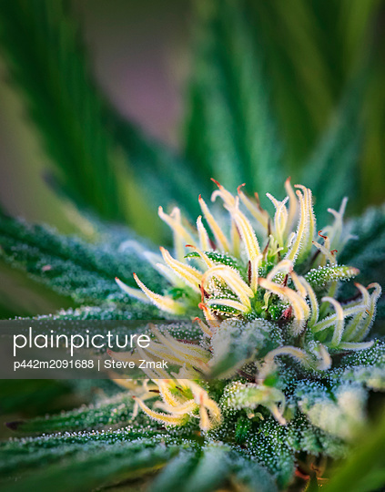 Close-up of a maturing cannabis plant and flower with visible trichomes; Marina, California, United States of America - p442m2091688 by Steve Zmak