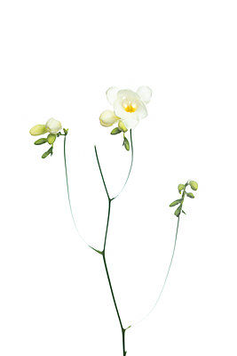 White freesia flowers with buds in front of white background - p919m2193278 by Beowulf Sheehan