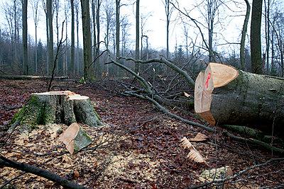 Beech forest - p979m909837 by Dott