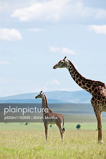 Masai Giraffe mit Jungtier - p533m1152655 von Böhm Monika