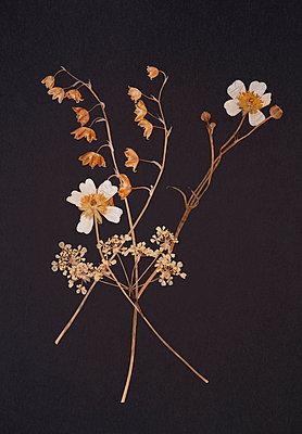 Pressed flowers - p971m903622 by Reilika Landen
