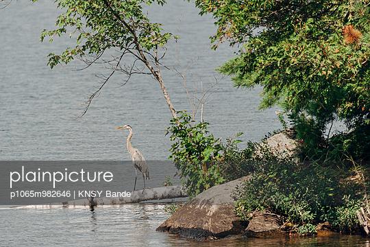 Ein Reiher am Ufer des Chandos Lake, Kanada - p1065m982646 von KNSY Bande