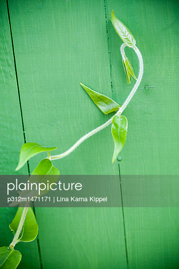 Climbing plant, close-up - p312m1471171 by Lina Karna Kippel