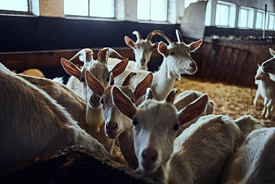 Goats - p1573m2272524 by Christian Bendel