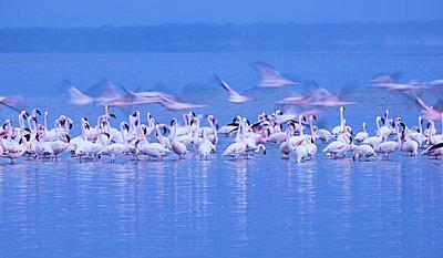 Flamingos - p745m740105 by Reto Puppetti