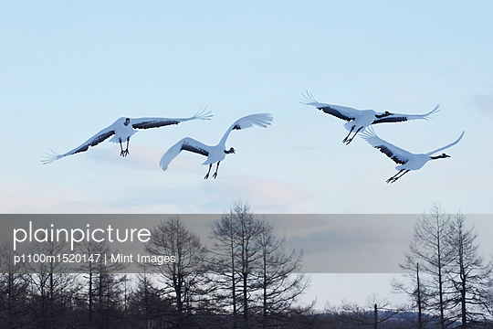 Red-Crowned Cranes, Grus japonensis, mid-air in winter. - p1100m1520147 by Mint Images