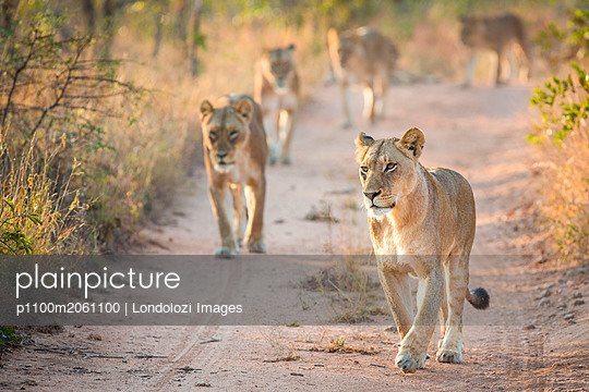 p1100m2061100 von Londolozi Images