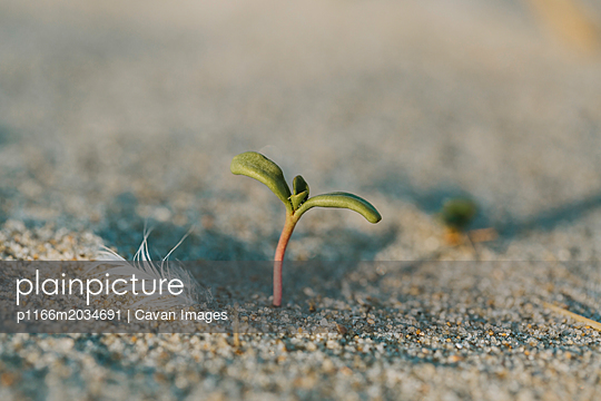 Close-up of plant growing on sand at beach during sunny day - p1166m2034691 by Cavan Images