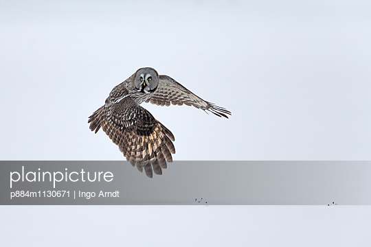 Great Gray Owl  flying over snow, Finland - p884m1130671 by Ingo Arndt