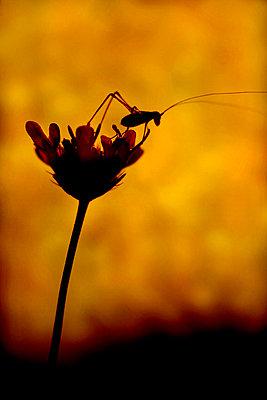 Grasshopper on a scabiosa, Luberon, France - p1028m2204659 von Jean Marmeisse