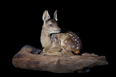 Padded fawn in studio - p8520010 by Astrid Schulz