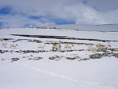 Reindeers, North cap - p945m1497408 by aurelia frey
