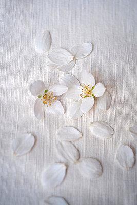 Jasmine petals - p971m823120 by Reilika Landen