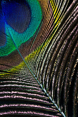 Peacock feather  - p1057m1564471 by Stephen Shepherd
