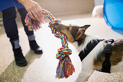 Dog and woman playing tug-of-war - p1192m1014129f by Hero Images