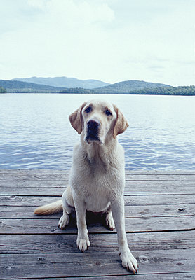 United States, New York, Lake Placid, Wet yellow Labrador Retriever sitting on wooden pier by lake - p1427m2271678 by Chris Hackett