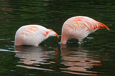 Flamingo - p2290877 by Martin Langer