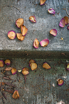 Rose petals - p927m1064494 by Florence Delahaye