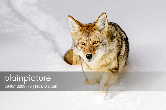 Coyote (Canis latrans) walking through deep winter snow. Yellowstone National Park, Wyoming, USA. January. - p840m2269775 by Nick Garbutt