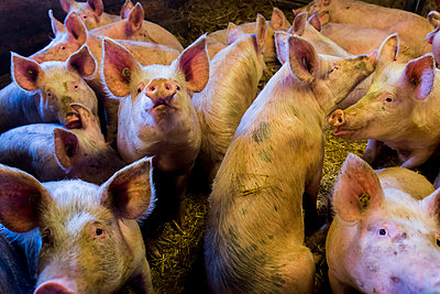 Pig farming - p076m1083060 by Tim Hoppe