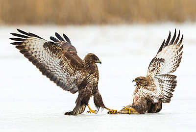 Common Buzzard pair fighting on ice, Germany - p884m1356893 by Martin Steenhaut/ Buiten-beeld