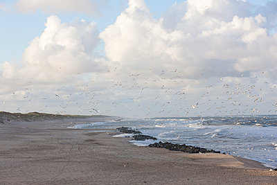 Seagulls at the Atlantic coast - p248m952358 by BY
