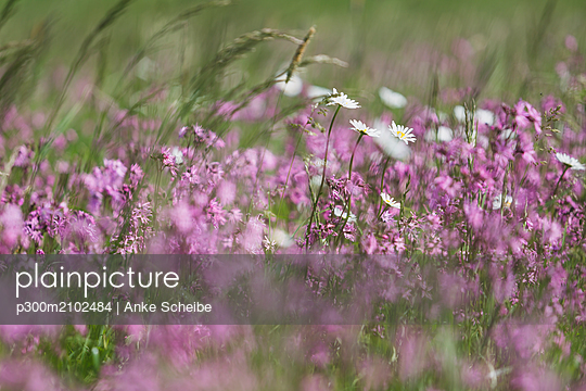 Ragged Robins and White Marguerites on a wet meadow - p300m2102484 by Anke Scheibe