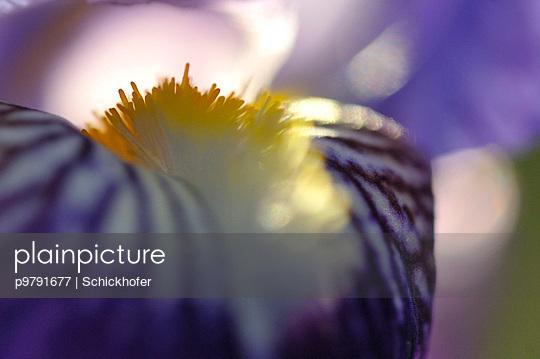 Schwertlilie, Lilie - p9791677 von Schickhofer
