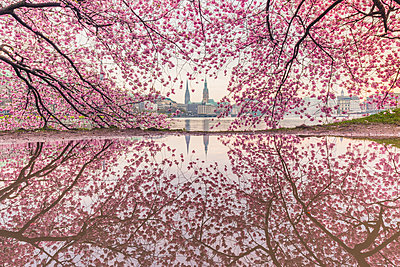 Germany, Hamburg, Germany, Hamburg, blossoming cherry tree at Binnenalster, water reflections of town hall and St. Nicholas' Church - p300m1587029 by Kerstin Bittner