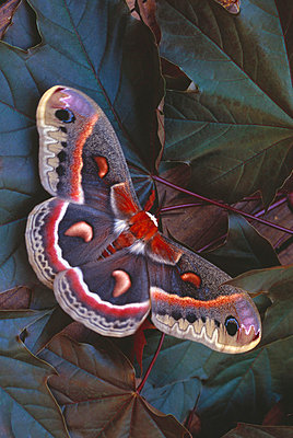 Cecropia moth on leaves - p4422389f by Design Pics