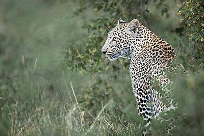 Leopard - p745m740055 by Reto Puppetti