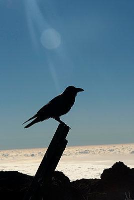 Krähe im Gegenlicht - p451m886791 von Anja Weber-Decker