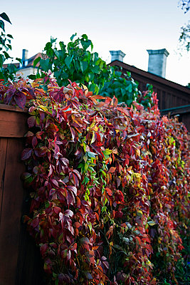 A fence covered with ivy, Sweden. - p5755182 by Mauro Rongione